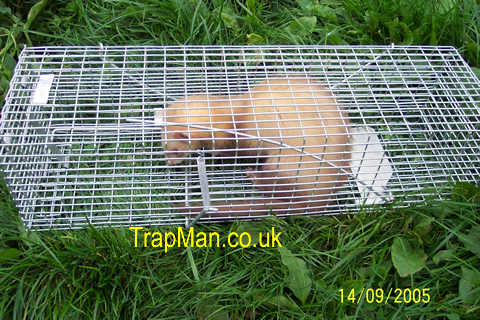 weasel, ferret trap
